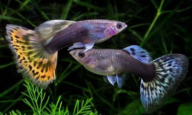 Cara Budidaya Ikan Gapi