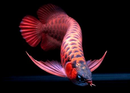 Budidaya Ikan Arwana Super Red Menguntungkan